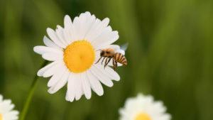 Le Meilleure Pâtissier - Marguerite et la fleur